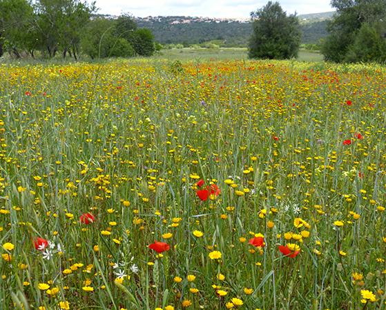 FET_Liebhaverboligen_Rejsereportage_Algarve_vilde blomster så langt øjet rækker