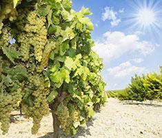 CAT_Sherry_Jerez_vineyard_sherry_wines