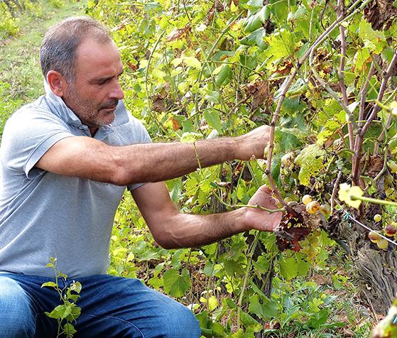 FET_Sardinien_rejsereportage_På-Agriturismoén-Fattoris-Cuscusa-har-værtsparret-1000-får-og-en-stor-vingård