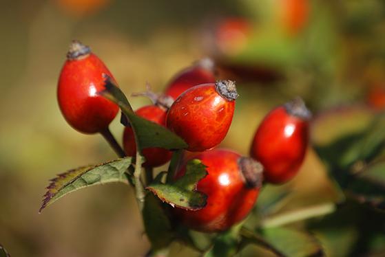 FET_spiselige_planter_vilde-roser