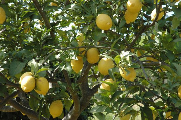 citrus træ sundhed citroner