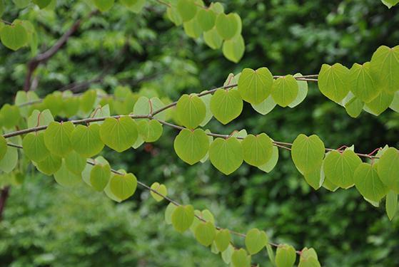 FET_Liebhaverboligen_Haveliv_Have_Farverihaven_Hjertetræets blade i slut maj - dekorativt træ på terrassen