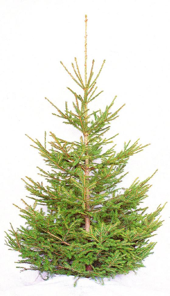 FET_Juletræer_Nr. 3