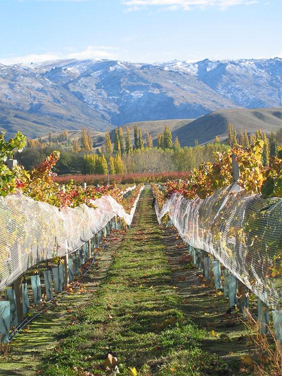 FET_NewZealandsk_vin_Wooing-Tree-Vineyard_CENTRAL-OTAGO