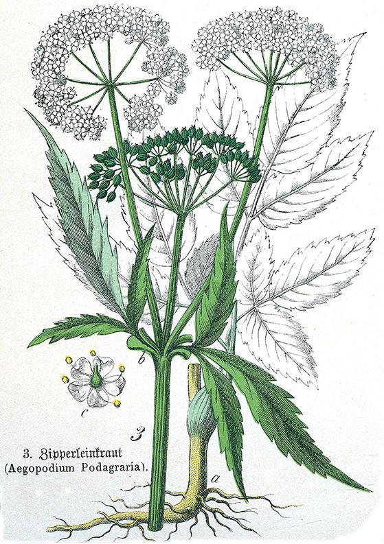 FET_spiselige_planter_Aegopodium_podagraria_Sturm-copy