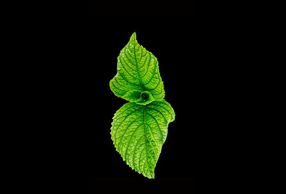 FET_spiselige_planter_indianermynte